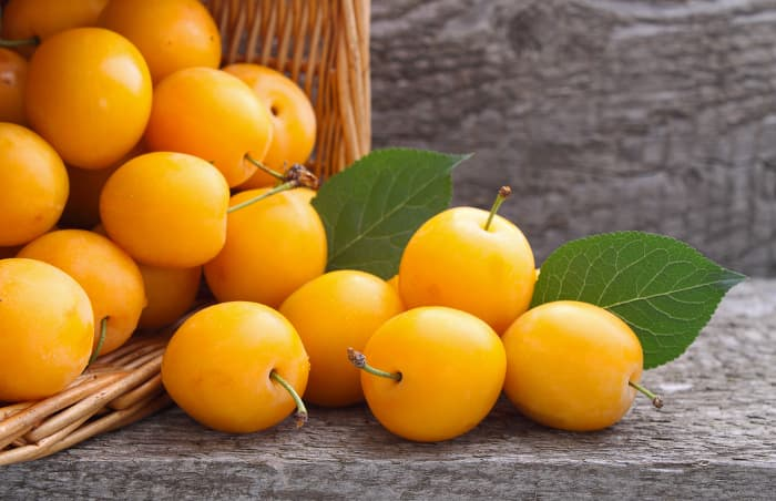 Basket of yellow plums.  Because plums come in a variety colors, the fruit color can be misleading about when the right time is to pick plums.