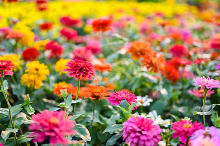Field of zinnias -- cut-your-own zinnias at the Flower Festival are a popular attraction at Afton Apple Orchard.