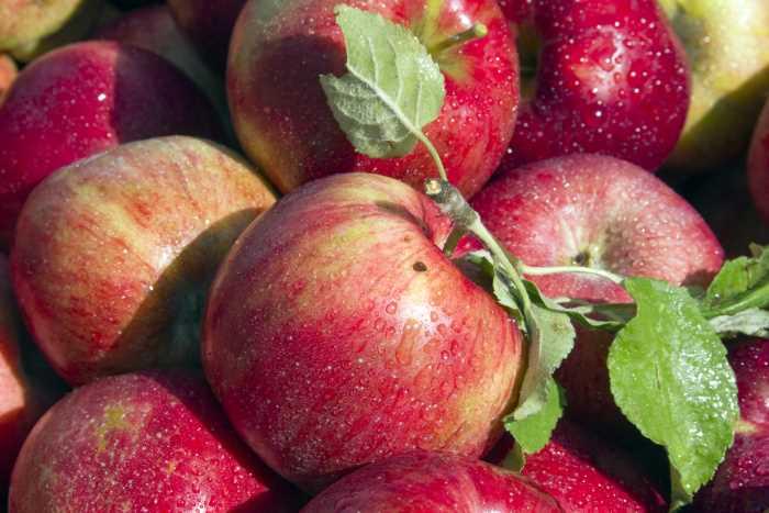 a bushel of ripe apples glistening in the morning dew