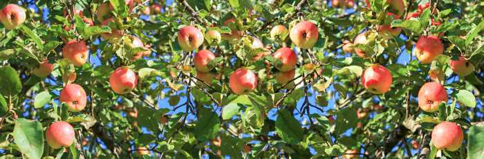 panorama of ripe apples hanging from a tree.