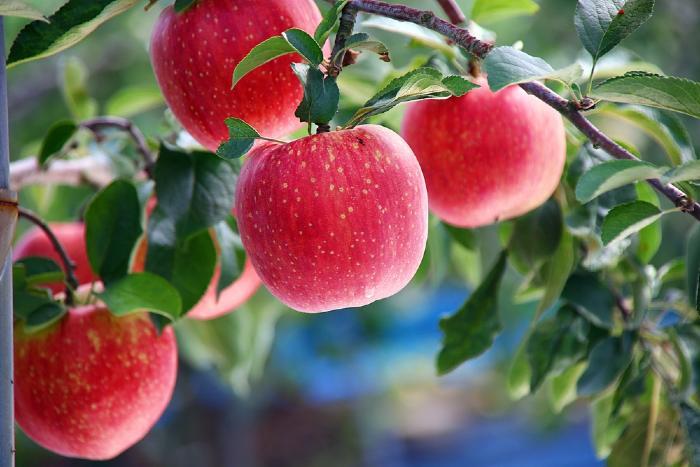 Apples on apple tree branch.