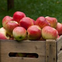 Picked apples in wooden crate