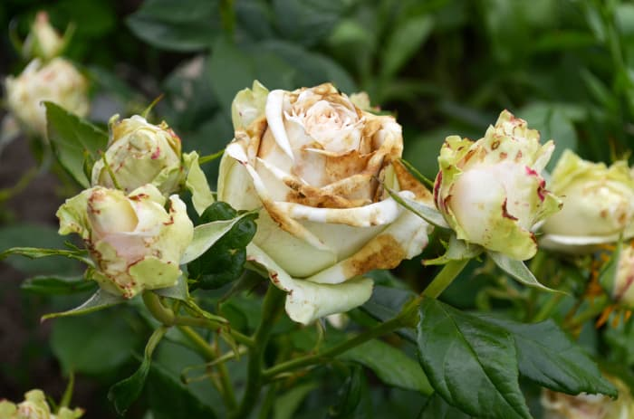 Closeup of wilting rose blooms with brown spots caused by Botrytis Cinerea, the fungus that causes Botrytis Blight, a blueberry bush disease.
