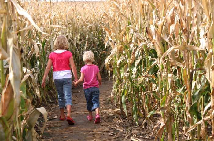 two children walking through a corn maze