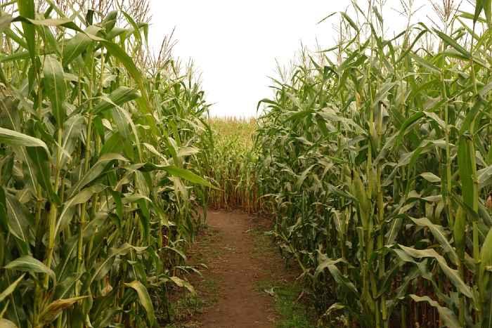 Corn and path in corn maze.