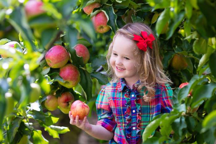 Girl picking apples in orchard.