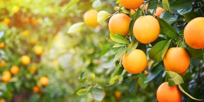Oranges on orange trees in grove.