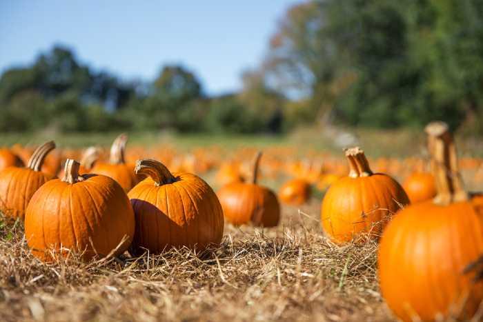 Pumpkin Patch on farm.