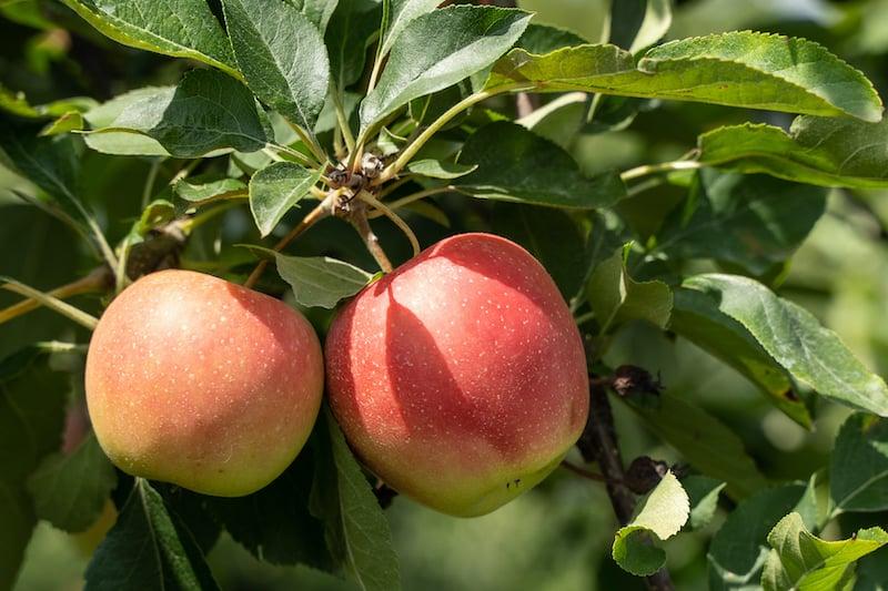 Honeycrisp apples growing on the tree.