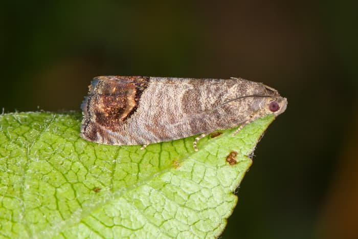 Closeup of an adult Codling Moth, which is very similar in appearance to the Oriental Fruit Moth.