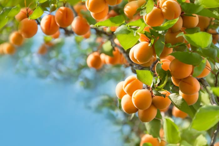 Clusters of orange-yellow apricots on tree branches.  Knowing how to deal with apricot tree pests is important in order to enjoy the fruits of your apricot tree-growing labor.