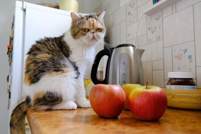 Multicolored cat on a kitchen counter near some whole apples.