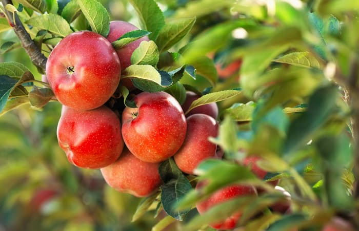 Closeup of a cluster or red apples on a tree.  Knowing the right time to pick apples is crucial to being able to enjoy the rewards of all the hard work of growing and caring for your apple tree during the year.
