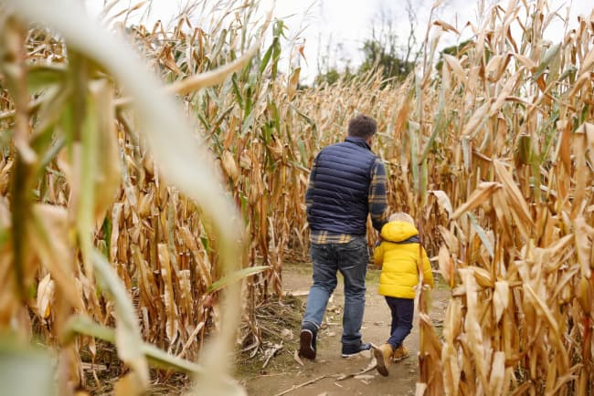 Back view of father and son walking in a corn maze.  A corn maze is just one traditional fall activity you can take part in at Gilby's Orchard.