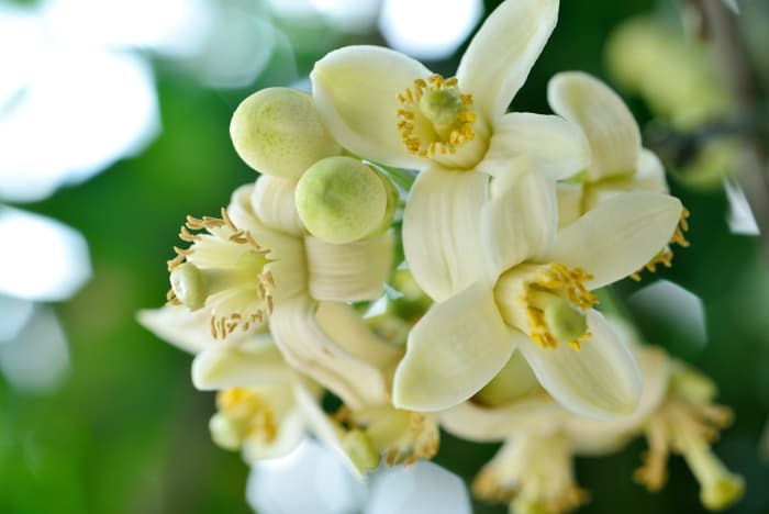 Closeup of cluster of white grapefruit tree blossoms.