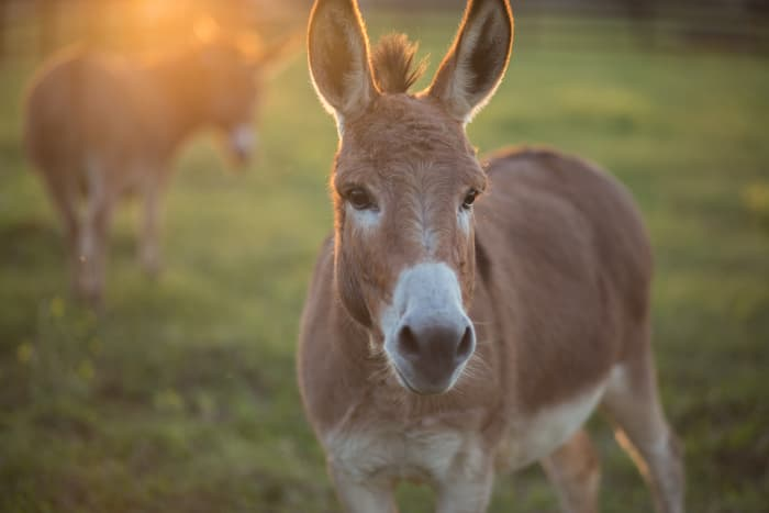 Closeup of a mini donkey with another in the background.  Along with other farm animals, mini donkeys are an attraction at LuceLine Orchard.