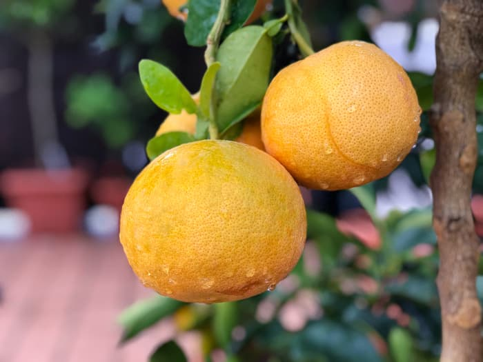 Closeup of cluster of Star Ruby grapefruits on a tree branch.