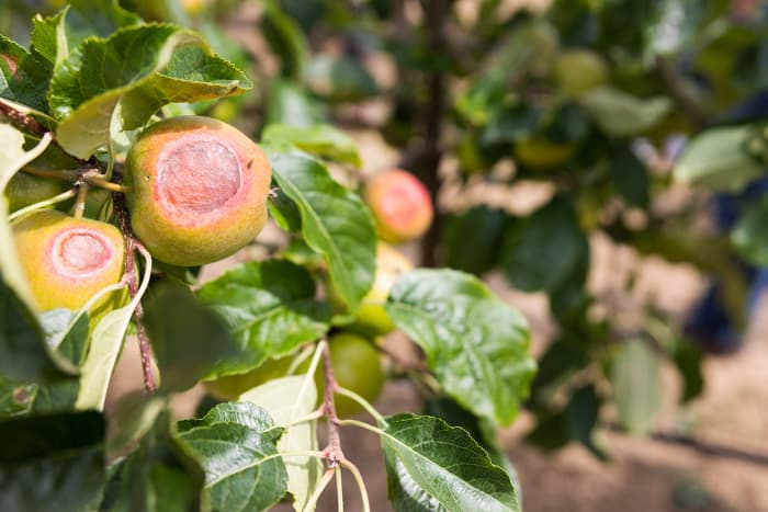 Apples with lesions caused by sunburn.