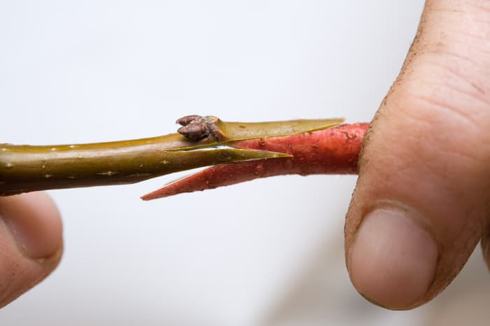Closeup of the Whip and Tongue graft technique -- just method of how to graft an apple tree.