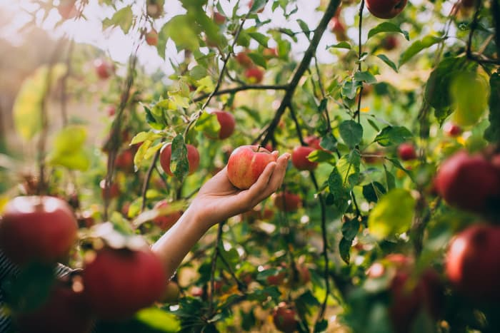 A woman's hand holding an apple near an apple tree branch with ripe apples on it.  In addition to knowing when the right time to pick apples is, you must also know the right way to pick apples.